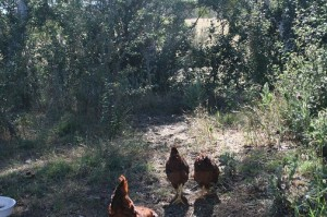 Three chooks head for the forest
